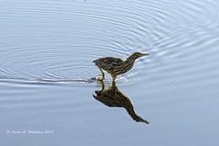 010118 Wading Bittern (wildcatlou) Tags: nisquallynationalwildliferefuge winter outdoors nature wildlife birds bird americanbittern pond water