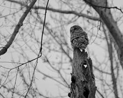 The World According to Bard (eatkisson) Tags: bnw blackandwhite owl barredowl huntleymeadows bird monochrome