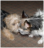 Poppy & Mesmer, first kiss! (Fishlady_UK) Tags: terrier jackrussell yorkie