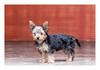 Beanie (Daniela 59) Tags: 7dwf sundaythemefauna dog puppy yorkshireterrier sliderssunday textures beanie danielaruppel