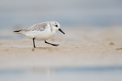 Sanderling | sandlöpare | Calidris alba (Daniel.Pettersson) Tags: calidrisalba sanderling sandlöpare spain spanien birds bird fåglar fågel andalucia espana