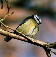 BLUE TIT (merseymouse) Tags: bluetits birds wildlife nature tits