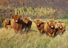 Highland Cattle in glen Lyon (eric robb niven) Tags: ericrobbniven scotland highland cattle cows glenlyon perthshire