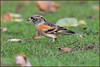 Brambling (image 1 of 2) (Full Moon Images) Tags: rspb sandy lodge thelodge wildlife nature reserve bedfordshire bird brambling