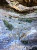 Xanthosia outbreak ([S u m m i t] s c a p e) Tags: bluemountains leura xanthosiapilosa nativeplants rock summer white bluemountainsnationalpark newsouthwales australia