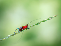 A Little Shy, A Little Blushed (Jimweaver) Tags: nature mountain green lake insect grass hopper 螽蟴 蚱蜢 草 台灣台北 翠湖 汐止 asia 亞洲
