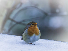 Feeling the cold (Val Carr) Tags: birds robin winter