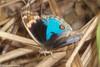 Junonia orithya ocyale (Blue Pansy) (GeeC) Tags: animalia arthropoda bluepansy brushfootedbutterflies butterfliesmoths cambodia insecta junonia junoniaorithyaocyale kohkongprovince lepidoptera nature nymphalidae nymphalinae papilionoidea tatai truebutterflies