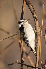 4332 (Condor Photography) Tags: downywoodpecker picoides picoidespubescens bird