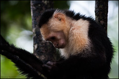 White faced (Capucin) monkey (G. Postlethwaite esq.) Tags: capucin costarica tortaguero centralamerica monkey whitefaced