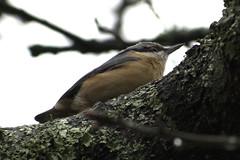 nuthatch (simondunant) Tags: hampstead heath hampsteadheath wildlife