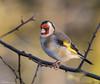 Goldfinch (Steve (Hooky) Waddingham) Tags: stevenwaddinghamphotography bird british song wild wildlife winter countryside nature finch