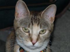 private 363 (lorablong) Tags: westhollywood california cat pet twix