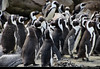 Penguins, Betty's Bay, South Africa (JH_1982) Tags: bettys bay bettysbaai penguin penguins african spheniscus demersus pinguin pinguine stony point colony brillenpinguin manchot cap 黑脚企鹅 ケープペンギン 아프리카펭귄 очковый пингвин animal wildlife nature tier south africa rsa za südafrika sudáfrica afrique sud sudafrica 南非 南アフリカ共和国 남아프리카 공화국 южноафриканская республика جنوب أفريقيا