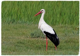 Cigonya blanca - Cigüeña blanca - Cegonha-branca - White stork - Ciconia Ciconia