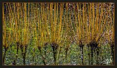 Oseraie / Osier plantation - Villaines-les-Rochers (christian_lemale) Tags: oseraie osier wicker willow plantation villaineslesrochers touraine france nikon d7100