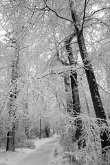 Paradise doesn't have to be tropical. (Dikke Biggie.) Tags: 52in2017 28high high hoog tree trees boom bomen forest bos landgoedtewerve rijswijk winter winterlandscape winterlandschap dutchwinter hollandsewinter blackandwhite bw black white zwartwit zw zwart wit monochrome monochroom canon canong1xmarkii canonnl dgawc thehightreesgetthewind hogebomenvangenveelwind snow sneeuw