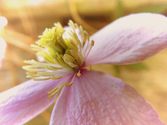 Pink flower (STEHOUWER AND RECIO) Tags: pink flower bloem bulaklak roze tuin garden nature natuur flora floral petals bloom blooming plant bokeh barendrecht netherlands nederland holland dutch natural photo photography capture image