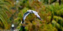 Ring Billed Gull (mylesfox) Tags: flight lake sky flying