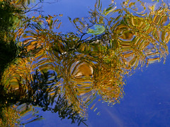 All that glitters (RobM333) Tags: autumn fall reflections birch spruce lily pad water abstract nature ontario canadianshield panasonic lumix