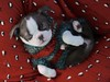 """merry and bright (listening to """"have yourself a merry little christmas"""", judy garland) (haint_blue) Tags: furball sleepy adorable cute baby little redandgreen christmas bostonterrier puppy canon"""