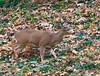 Master Buck. (Omygodtom) Tags: setting scenic scene senery wildlife wild deer autumn animal abstract animalplanet winter oaksbottom oregon outside nikon70300mmvrlens dof d7100 digital second 7dwf coth5 ngc