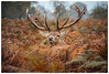 The Curious Stag (Brian P Slade Photography) Tags: reddeer deer animals antlers fantasticwildlife wildlife wildlifephotography ukwildlife wild uk london bushypark ferns mammals mammal headshot portrait portraiture canonphotography canon 5d 150600mm sigma sigmasports curious stag brianpsladephotography brianpslade