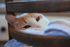 Otis in the tall chair with dishtowels (rootcrop54) Tags: otis dillute orange ginger tabby masked male cat tallchair barstool bar dishtowels direct gaze eyecontact flirtatious pink neko macska kedi 猫 kočka kissa γάτα köttur kucing gatto 고양이 kaķis katė katt katze katzen kot кошка mačka gatos maček kitteh chat ネコ dreamboat