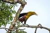 IMG_7581 (jaglazier) Tags: 121717 2017 capok copyright2017jamesaglazier december deciduoustrees ecuador napowildlifepreserve naturepreserves orellana trees animals birds oropendola parks orellanaprovince