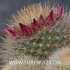 Mammillaria zeilmanniana-3 (SUBENUIX) Tags: cactaceae mammillariazeilmanniana suculentas subenuix subenuixcom planta suculent suculenta botanic botanical