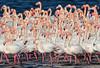 Phoenicopterus roseus (MoGoutz) Tags: phoenicopterus roseus greater flamingo rosaflamingo större flamant fenicottero