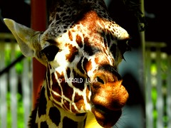 Giraffe (harald.luiki) Tags: giraffe animalphotography animaltheme wildanimal animal animalhead animalthemes headshot closeup flickrphoto flickranimals flickr flickrphotography