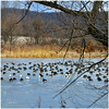 frozen stilll good for a small break (jintujacob) Tags: landscape natuer nature nikon d500 winter tree birds goose water backwater blue yellow morning