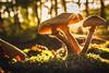 Pilze im Sonnenuntergang (stevepe81) Tags: moos sonyalpha minolta50mmmdrokkor14 sonnenuntergang laub outdoor wald minoltamdrokkor14 bäume herbst dämmerung 2017 baum minolta alpha landschaft pilze münsterland altglas 6000 baumberge sony lightroom oktober
