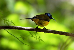 Green-tailed Sunbird - Male - Wesetern Himalayas ~2300m Altitude