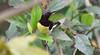 Purple rumped sunbird (praveen.ap) Tags: purple rumped sunbird purplerumpedsunbird tindivanam