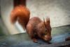 Il s'installe sur la fenêtre de mon bureau...! (minelflojor) Tags: écureuil noix roux squirrel red nuts