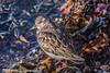 Watching the year go by (davidrhall1234) Tags: turnstonearenariainterpres turnstone oban harbour birds bird birdsofbritain beak countryside coastal coast nature nikon scotland shore shoreline sea wildlife world outdoors feather