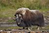 Muskox Bull (tomblandford) Tags: muskox muskoxbull ovibos sewardpeninsulawildlife sewardpeninsulamuskox nomemuskox alaskanwildlife alaskamuskox prehistoric conservation protecttheenvironment