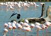Un intrus chez les Flamants (jean-daniel david) Tags: héron flamant étang mer france oiseau oiseaudeau bois tronc