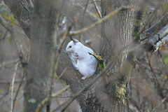 White Squirrel (James L Taylor) Tags: chasewater 6118 white squirrel sciurus carolinensis