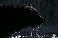 Subtle (PamsWildImages) Tags: bc britishcolumbia bear nature naturephotographer wildlife wildlifephotographer pamswildimages pammullins lowlight