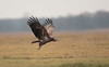 White Tailed Eagle (Colin Rigney) Tags: wildlife nature eagles colinrigney hungary hortobagy hungarianwildlife birdsofprey canon avian outside outdoors whitetailedeagles white tailed flying birdflying wings