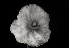 Last poppy (Funchye) Tags: poppy papaver valmue blomst nikon d610 60mm