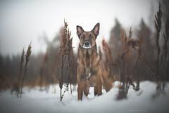 Kauko (Photography Ilona Mikkonen) Tags: belgianpaimenkoira shepherd snow winter 2017 cutedog