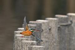 Common Kingfisher (myu-myu) Tags: nature bird wildbird alcedoatthis commonkingfisher nikon d500 野鳥 カワセミ 翡翠 japan