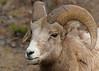 Rocky Mountain Sheep...#6 (Guy Lichter Photography - 3.7M views Thank you) Tags: rockymountainsheep canon 5d3 canada alberta banff banffnationalpark wildlife animals mammal mammals sheep