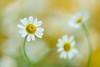feverfew 4757 (junjiaoyama) Tags: japan flower plant feverfew white winter macro flickrdiamond
