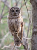 Barred Owl (Dean OM) Tags: bird barred owl woods nature forest wild panasonic gh5 100400mm pl100400