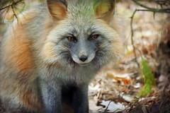 Louie is Sleepy. (MTSOfan) Tags: louie yawn greyfox lvz fox